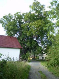 """Chráněný památný strom """"Malinecká lípa"""""""